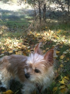 Picture of Yorkshire Terrier in beautiful woodsy setting