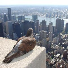 empire state buidling pigeon