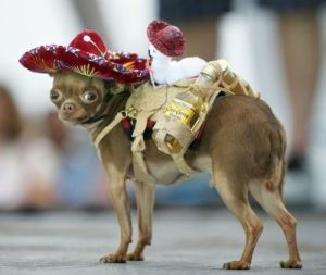 chihuaha wearing a saddle