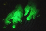 pigs that glow in the dark