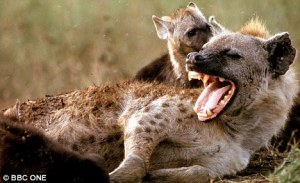 What did the hyena cross the road? To get to the better jokes! Now that's funny!