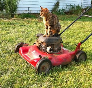 cat mowing lawn